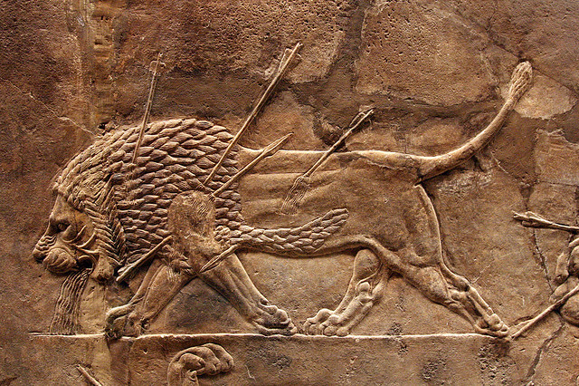 wounded lion,lion