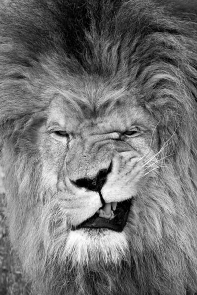 Aarrhhh By Lion,Aarrhhh, Lion