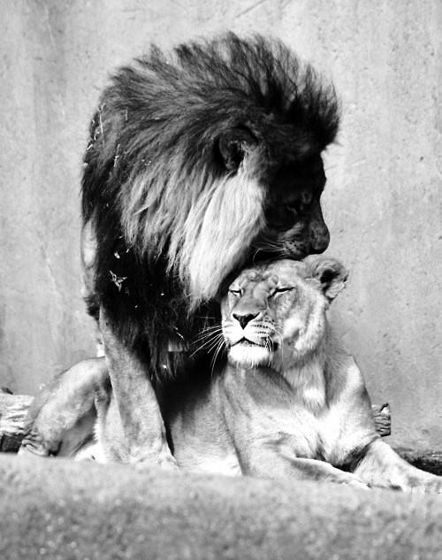 Lion Love,Lion ,Love,lion mate
