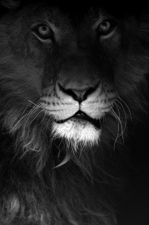 Lion Got His Eyes On You,lion,eyes,eye