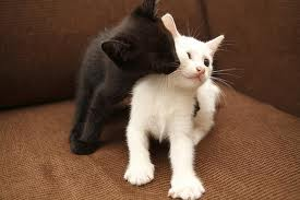 Cute Black And White Kittens,kitten,kittens,kiss,cute,lovely,adorable