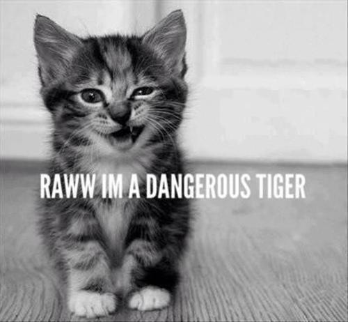 Rawr I am A Dangerous Tiger,cat,kitty,kitten,kitten meme,Rawr I am A Dangerous, Tiger,Rawr ,I am A Dangerous Tiger,